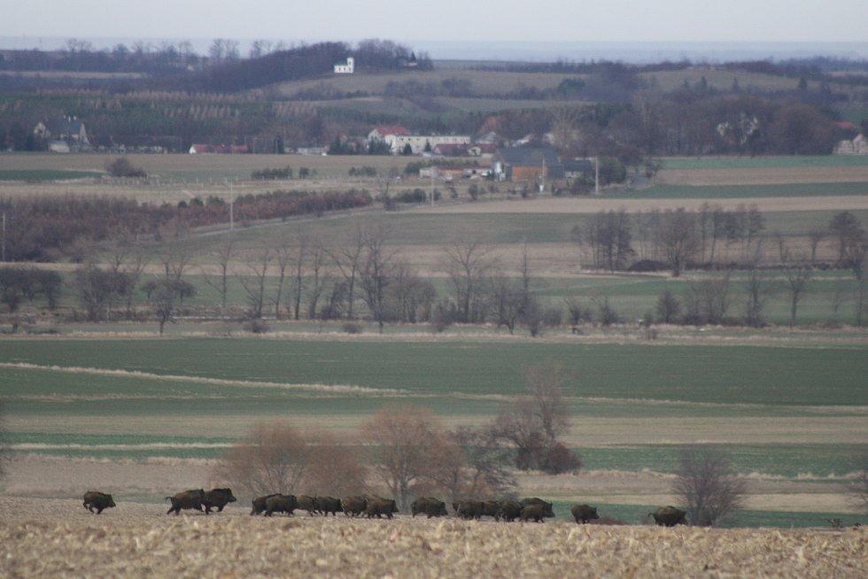Stádo divočáků lze za bílého dne potkat také na Osoblažsku. Místní už podle kapličky na kopci  jistě  poznali, že vesnice v pozadí je Rusín.