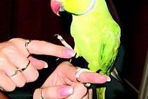 Papoušek Saša byl rodinným miláčkem do neděle 27. června, kdy z bruntálské domácnosti uletěl neznámo kam.