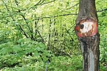 Zarostlá dopravní značka. Součástí stromu se stala zákazová dopravní značka umístěná u polní cesty na trase z Pusté Rudné do Vrbna pod Pradědem.