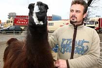 """Cirkus Prince zavítal do Krnova. """"Po představení se mohou děti nechat vyfotit s velbloudem nebo s krajtou královskou. Máme také afrického býčka Watusi, který, až vyroste, bude mít rozpětí rohů až dva metry,"""" přiblížil Maik Doubek z cirkusu Prince."""