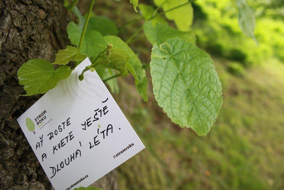 Město Janov bylo založené ve 13. století, takže je mladší než tisíciletá lípa. Zasloužené popularity lípa dosáhla až letos, když se probojovala do finále soutěže Strom roku 2020.  Hlasování na stromroku.cz. končí 11. října.