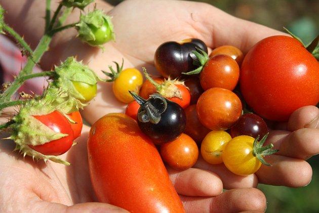 Park albrechtického zámku letos poprvé oživily bylinkové a zeleninové záhony. Alena Křištofová zde návštěvníkům vysvětluje, jaké podoby mohou mít  rajčata. Údiv vyvolávají pichlavá liči rajčata plná ostnů ičerné a fialové odrůdy,