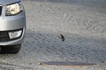 Křivky v Karlově Studánce vysedávají na křižovatce přímo mezi auty. Květen 2021.
