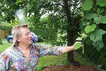 Z liliovníku, který v roce 1988 vysadil Heřman Menzel se svou manželkou a vnukem na počest sedmdesátého výročí vzniku Československa a T. G. Masaryka, je dnes už mohutný strom.