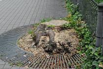 Hlučný lomoz motorových pil v uplynulých dnech několikrát zazníval v Husově sadu v centru Ostravy. K zemi se zde poroučely tři vzrostlé stromy.