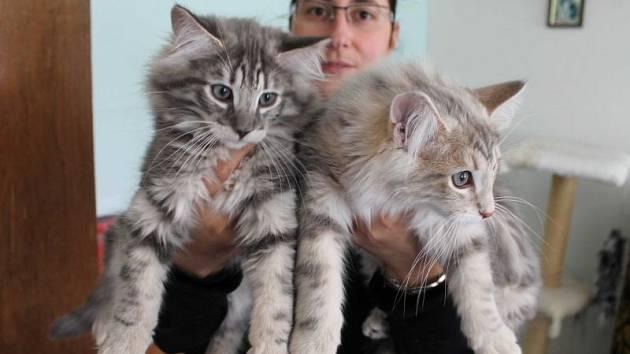 Norské lesní kočky jsou nejen krásné, ale i inteligentní, čistotné a přítulné.