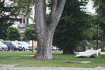 Mohutný javor je dominantou Smetanových sadů v centru Krnova