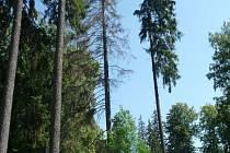 Smrky s kůrovcem musí ustoupit v bruntálském městském parku nové výsadbě. Kvůli kůrovci se staly nebezpečnými.