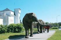 Sloni v Bruntále. Na procházku po Bruntále se pod dozorem svých ošetřovatelů vydala trojice slonů z cirkusu Humberto a zvali na představení.