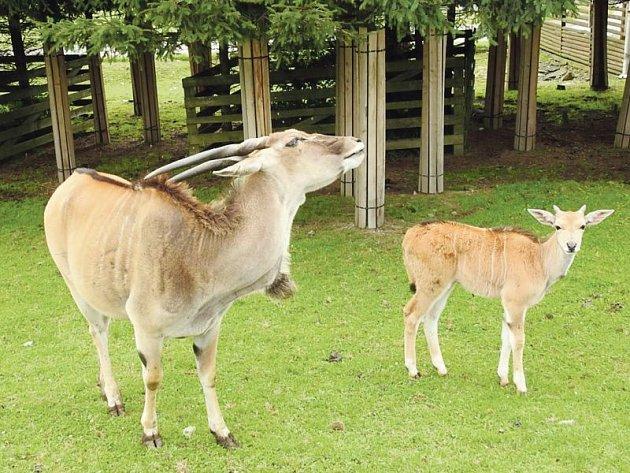 Na farmě v Holčovicích mohou lidé spatřit pro Jeseníky ne moc typická zvířata, antilopy losí.