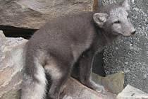 Stříbrná liška pobíhala po areálu firmy na Krnovské ulici. Skončila v péči Stanice mladých přírodovědců v Bruntále.