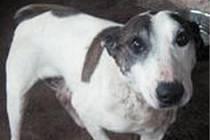 PSÍ ÚTULEK ve Slezských Pavlovicích představuje dalšího psího adepta na adopci u hodných lidí. Tentokrát si představíme pětiletého křížence bulteriéra.