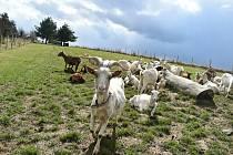 Kristýna Šťastná z Kozí farmy Úvalno začala s dojením a výrobou sýrů v době, kdy ještě nebylo jasné, zda vláda dovolí obnovit farmářské trhy.