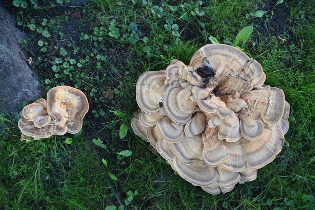 VĚJÍŘOVEC OBROVSKÝ neboli trsnatec je nádherná houba. Bohužel pro památkově chráněný buk lesní vcentru Krnova je to také infekce, která ho vdohledné době zahubí.