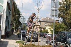 Některé hlohy vysazené v Březinově ulici po záchranných řezech ještě obrazily, ale ne všechny. Město zahájilo reklamační řízení s firmou, která je v roce 2016 vysadila. V budoucnu s ní už nehodlá spolupracovat.