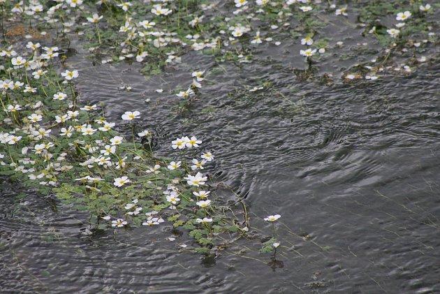 Hladinu řeky Opavice vtěchto dnech pokryly tisíce bílých květů lakušníku vzplývavého, který je příbuzným pryskyřníků.
