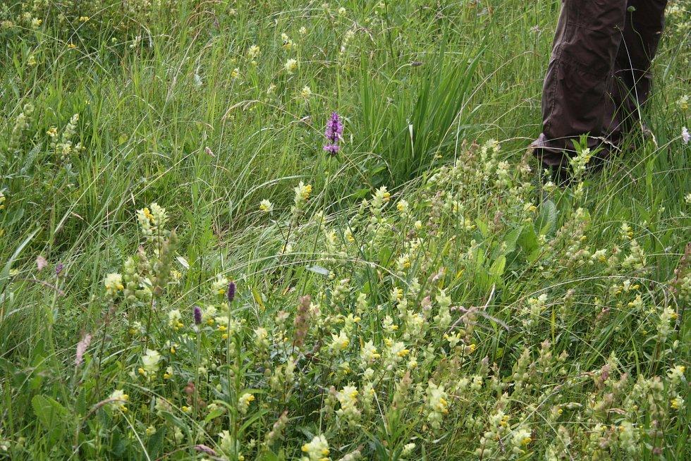 Dobrovolníci semena kokrhele nasbírali v červnu. Dnes můžete na loukách u Krnova potkat dobrovolníky s křovinořezy, hráběmi a vidlemi na seno.