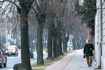 Lípy na Albrechtické ulici už mají nejlepší roky dávno za sebou. Brzy je nahradí nově vysázené platany.
