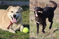 Psi, které majitel nechal v prosinci podvyživené a dehydrované v lese u Města Albrechtic, už jsou díky obětavé péči paní Aleny Paluchové zase v dobré kondici. Dostali jména Bohoušek a Medvídek a těší se na nového pána.