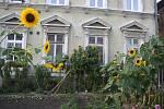Krnovská slunečnice, která se stala atrakcí rušné Revoluční ulice, měří přes 4,5 metru.
