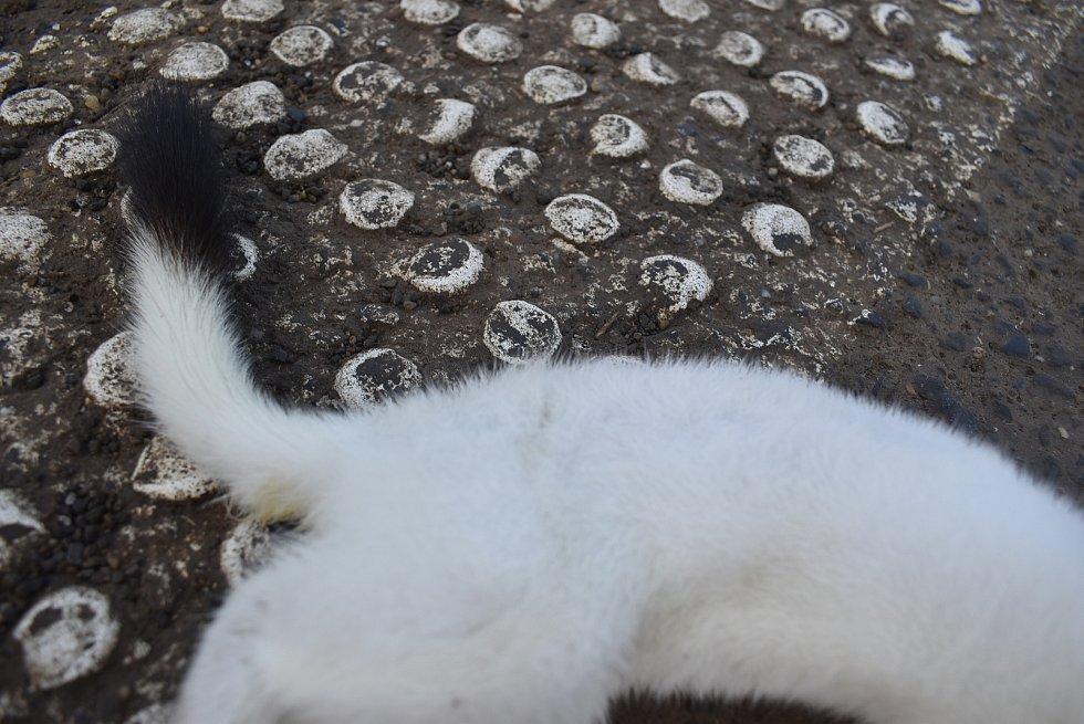 Lasici hranostaje v zimním kožichu si můžeme prohlédnout zblízka díky přemnoženým hrabošům a řidičům. Tento exemplář skonal v Krnově na Petrovické ulici.