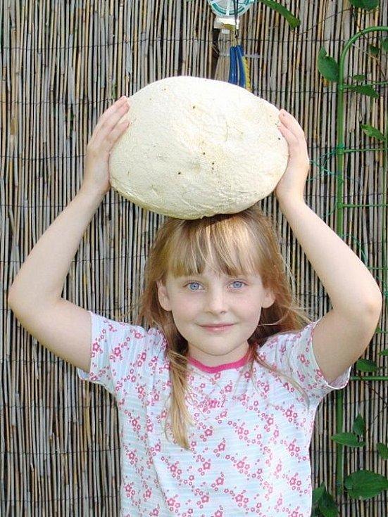 Vatovec neboli pýchavka obrovská patří mezi největší houby, s jakými se může český houbař setkat. Tento krásný úlovek pořídil Jaroslav Balcárek nad Krnovem ve směru na Býkov.