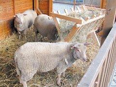 Obligátní ovečky u jesliček jsou na krnovském náměstí už od včerejška. V sobotu se dočkáme i živých medvědů a velbloudů, které na náměstí dovedou manželé Berouskovi z Národního Cirkusu Originál Berousek.