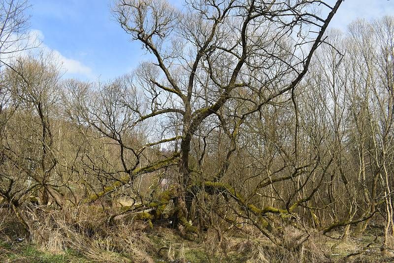 Nádherná vrba, která roste vedle silnice z Valšova do Nové Pláně, nabízí laikům estetický zážitek a přírodovědcům studijní materiál.