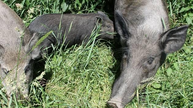 Divoká prasata se vyrojí u zábran v okamžiku, kdy se přiblíží turisté s fotoaparáty. Že by trpěla ostychem, to se rozhodně říct nedá.