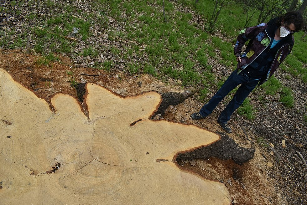 Pokácení dubu, který přes tři století rostl nad Krnovem, vyvolalo v médiích značný ohlas.  Dřevorubci zde odvedli náročnou profesionální práci v těžko dostupném terénu.
