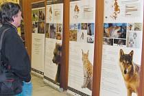 Velké šelmy byly po staletí součástí naší přírody. Hnutí Duha je představuje veřejnosti a chystá rozsáhlý projekt jejich monitoringu v Jeseníkách.