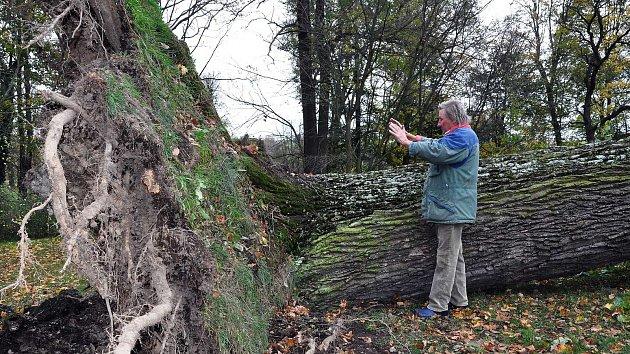 Heřman Menzel díky svým zvláštním schopnostem otestoval stáří vyvráceného dubu dlaněmi. Podle něj zde rostl 370 let.