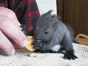 Veverky se učily hlodat nejprve na piškotech. Jejich ošetřovatel Petr Schäfer je postupně učí jíst i sušené ovoce a ořechy.