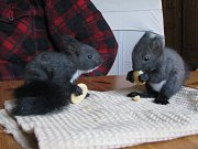 Veverky se už pilně učí hlodat piškoty, brzy dostanou také hrozinky, oříšky či sušené meruňky.