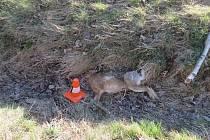 Jeden zajíc zahynul 21. března pod koly Chevroletu mezi Lomnicí a Valšovem, druhý Zajíc vběhl do jízdní dráhy Škodovce mezi Jindřichovem a Třemešnou