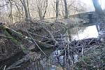 Na rok starých snímcích je vidět, jak bobři začali budovat základy nové hráze u mostu na Koberno. Bylo to na přelomu let 2017 a 2018. V té době už byl první stupeň bobří kaskády v řece Lužná dokončený.