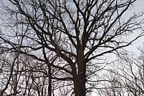 Mohutný dub na Krnovsku před pokácením.