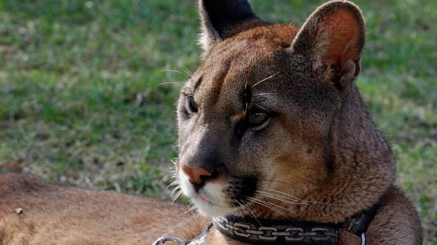 Puma americká - ilustrační foto.