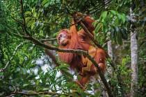 Orangutan. Jedno z mnoha zvířat, které fotograf zaznamenal při cestách pralesem Bornea.