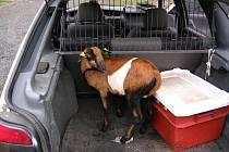 Mládě kamerunské ovce si vykračovalo 5. října 2007 po 13. hodině u restaurace Emona na Dukelské ulici v Bruntále. Strážníci zvíře odchytili a převezli na krajské středisko volného času Juventus. Majiteli Zdeňku Boberovi se ovce později vrátila.