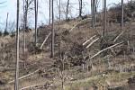 Situace v lesích nad Obornou je charakteristická i pro další lesní porosty zasažené kůrovcem. Po vytěžení smrků zůstaly listnaté stromy bez opory, takže vítr je snadno vyvrací z kořenů.