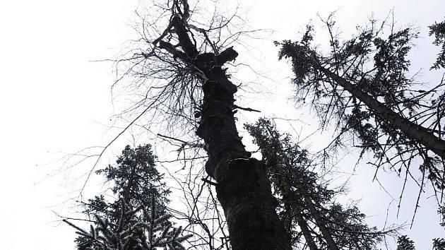 Bříza Karpatská v národní přírodní rezervaci Rejvíz je stará minimálně 224 let. Patří k nejstarším známým exemplářům.