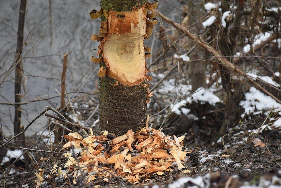 Pavel Varmus byl zvědavý, jak vypadá hlodavec, který si v Branticích pochutnává na stromech.