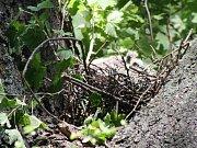 Dvě mláďata holuba hřivnáče přežila pokácení stromu se svým hnízdem. Jiří Heneš je vynesl i s hnízdem na blízký strom v naději, že se k nim rodiče vrátí. Pokud ne, zahynou žízní a hladem.
