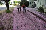 V Krnově ze stromů sněží růžová. Rozkvetlé sakury přebarvily šedivé chodníky i zelené trávníky.