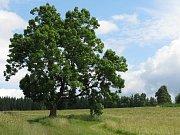 Stromem roku 2009 má šanci stát se jasan ztepilý, rostoucí nedaleko turistické stezky z Karlovy Studánky do Malé Morávky. Přibližně dvě stě let starý strom do soutěže nominovalo občanské sdružení Vlastenecký poutník spolu s obyvateli okolních obcí.
