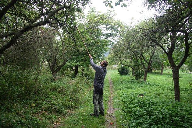 Lukáš Matela ze spolku  Slezské odrůdy bilancuje první sezonu vměstském sadu. Už se zde podařilo určit staré odrůdy jabloní Bernské růžové, Croncelské, Spartan, Průsvitné letní, Starkinson, Strýmka a  Malinové hornokrajské