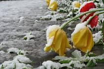 Květnový sníh v úterý kolem poledne nečekaně zasypal rozkvetlé stromy, zahrady a trávníky plné pampelišek.