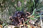 Dřevomor kořenový, jemuž se říká také spálenka skořepatá, je nebezpečná dřevokazná houba. Napadá kořena a snižuje stabilitu stromu.