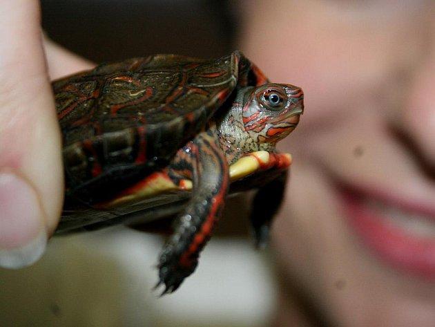 Želva - Ilustrační foto.